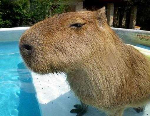 capybara4-510x394